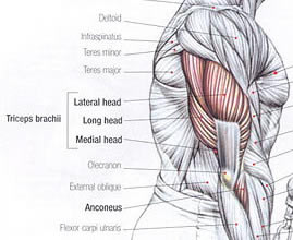triceps-anatomie